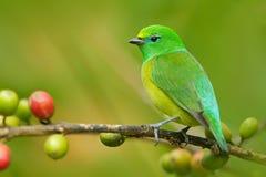 Сине--naped Chlorophonia, cyanea Chlorophonia, экзотическая троповая зеленая форма Колумбия птицы песни стоковое фото rf