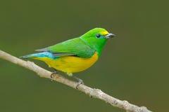 Сине--naped Chlorophonia, cyanea Chlorophonia, экзотическая троповая зеленая форма Колумбия птицы песни Живая природа от Южной Ам стоковая фотография