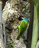 Сине-throated barbet делая гнездо, Pokhara Непал стоковые фотографии rf