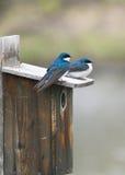 синие птицы Стоковое Фото