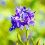 Синие цветки на предпосылке запачканной зеленым цветом, Стоковые Фото