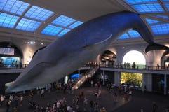синий кит Стоковое Изображение