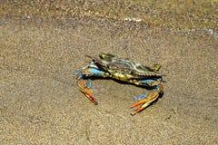 Синий краб при большие когти плавая в воду Стоковые Изображения