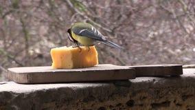 Синица ест сыр сток-видео