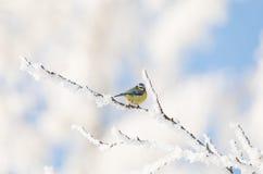 Синица красивой малой птицы большая в зиме Стоковое Фото