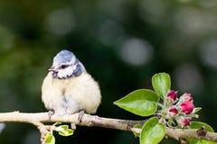 Синица младенца голубая на яблоне весной Стоковое Изображение