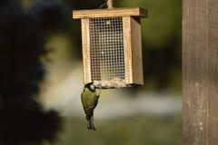 Синица, наблюдать симпатичных птиц Стоковое Изображение RF