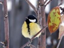 Синица на молодой яблоне Стоковое фото RF