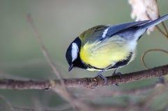 Синица птицы на ветви Стоковые Фото