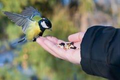 Синица птицы сидит на ладони человека с семенами, концепции заботить для животных в природе в зиме, стоковые изображения rf