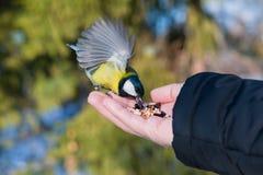 Синица птицы сидит на ладони человека с семенами, концепции заботить для животных в природе в зиме, стоковая фотография rf