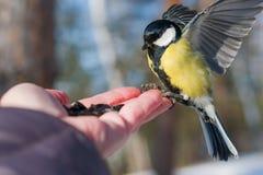 Синица птицы сидит на ладони человека с семенами, концепции заботить для животных в природе в зиме, стоковая фотография