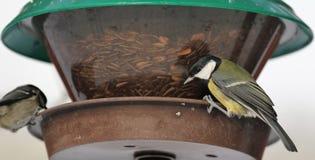 Синицы на фидере птицы Стоковое Фото