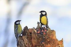 2 синицы на фидере птицы есть семена и арахисы Стоковая Фотография