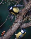 Синицы оспаривая гайку Стоковая Фотография