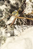 Синицы птиц зимы Стоковые Фотографии RF