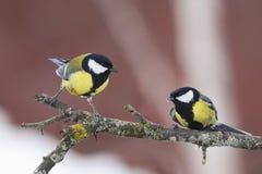 2 синицы сидя на ветви дерева Стоковые Фото