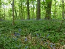 Сини цветки lilly Стоковые Изображения