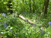 Сини цветки lilly Стоковая Фотография