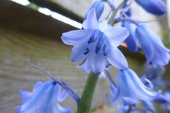 Сини цветки lilly Стоковое фото RF