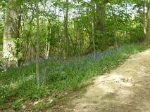 Сини цветки lilly Стоковые Изображения RF