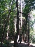 Синусоидальное дерево Стоковое Изображение