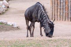 Синь антилопы гну Стоковое Изображение