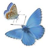 Синь Адониса бабочки Стоковые Фото