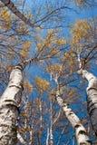 синь выходит небу высокорослые валы под желтый цвет Стоковое фото RF