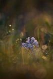 Синь гиацинта Стоковые Фотографии RF