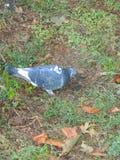 Синь голубя с серым и зеленым усаживанием на траве Стоковое Изображение