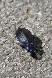 синь жука Стоковые Изображения RF