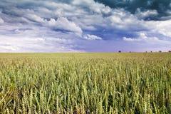 синь заволакивает пшеница неба глубокого поля отмелая стоковые изображения