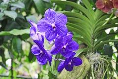 Синь и покрашенная белизной тропическая орхидея Стоковые Изображения