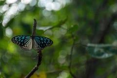 Синь и подогнали чернотой, который бабочка pertched на ветви с dept стоковое изображение rf