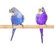 Синь и пурпур попугая Синь Budgie, изолированная на белой предпосылке Рост волнистого попугайчика полностью Стоковые Изображения