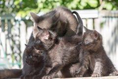 Синь кота Стоковые Фотографии RF