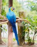 Синь крупного плана и птица ары золота сидя на ветви дерева Стоковое Изображение
