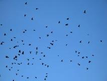 синь кукарекает небо Стоковая Фотография
