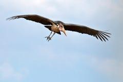 синь летает аист неба marabou Стоковые Изображения RF