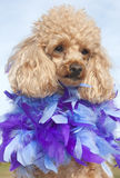 синь оперяется пурпур дворняжки Стоковые Изображения RF