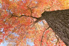 синь осени красит желтый цвет зеленого клена померанцовый Стоковое Изображение RF