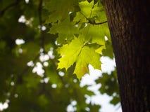 синь осени красит желтый цвет зеленого клена померанцовый Стоковые Фотографии RF