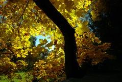 синь осени красит желтый цвет зеленого клена померанцовый Стоковое Изображение