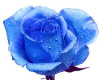 синь подняла Стоковая Фотография