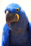 синь птицы Стоковое Изображение
