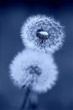 синь хронометрирует одуванчик Стоковая Фотография