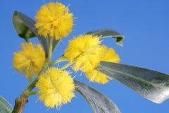 синь цветет желтый цвет mimosa Стоковые Фотографии RF
