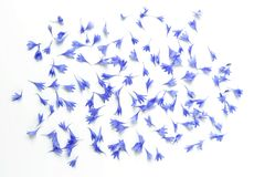 Синь цветет картина лепестков cornflowers на белой предпосылке Стоковые Изображения RF