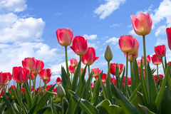 синь цветет тюльпаны весны неба Стоковые Фотографии RF